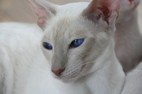 white siamese cat with blue eyes in the house