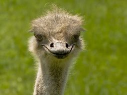 portrait of a flightless ostrich