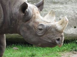 white horn rhino in Africa