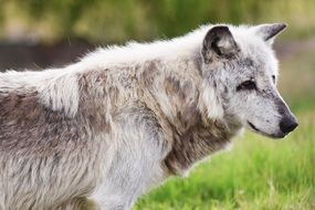 Canadian Timber Wolf Animal Wolf