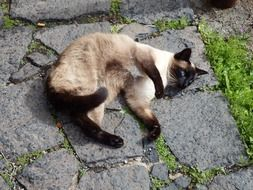 beautiful blue eyed siamese cat resting on stones