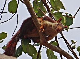 Malabar giant squirrel in the natural environment of India