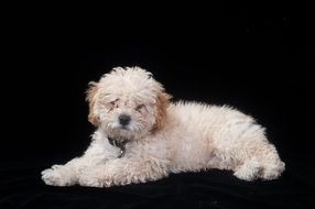 Poodle Puppy Cute portrait
