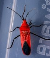 closeup of a bright red beetle