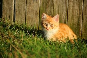 young red cat sitting by the wooden wall