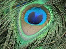 painted eye on peacock plumage
