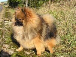 dwarf spitz on grass close up