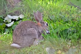 wild grey rabbit