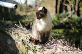 Siamese cat is a pet