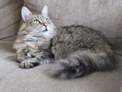 fluffy grey domestic cat