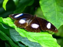 tropical butterfly with white spots on the wings