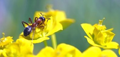 Ant and yellow flower
