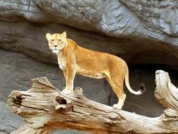 lioness on the snag