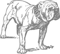 black and white drawing of a bulldog on a white background
