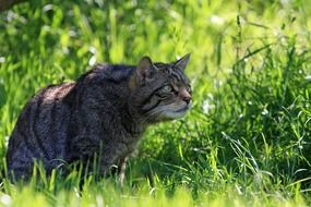 scottish wild cat on the field