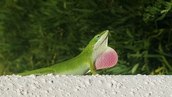 green anole in wildlife
