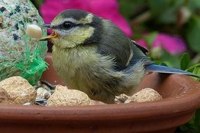blue tit with meal