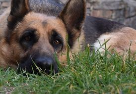 German Shepherd dog resting on a grass