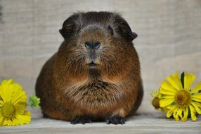 sweet brown guinea pig with smooth hair