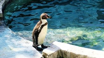 humboldt penguin standing on a rock