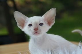 white siamese kitten with big ears