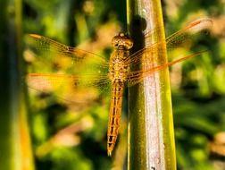 closeup of an orange dragonfly