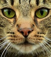 portrait of a barred tabby cat with green eyes