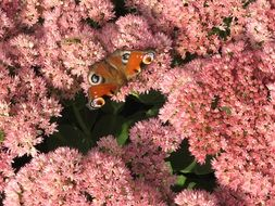 butterfly on a bush with pink flowers