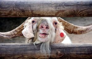 billy Goat with big horns looks through wooden bars