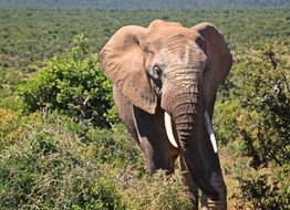 wild elephant in the kruger national park