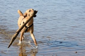 Retriever plays with a stick by the water