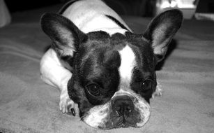 black and white photo of domestic french bulldog