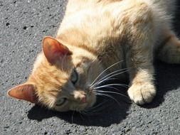 red cat lies on the pavement