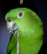 portrait of an amazone parrot with green plumage
