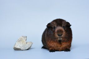 guinea pig and white stone