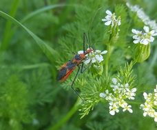 milkweed assassin bug on the meadow