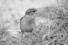 black and white photo of a sparrow on the grass