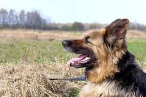 german shepherd lies in the meadow