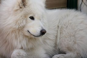 Dog Samoyed Animal