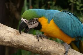 blue colorful macaw parrot