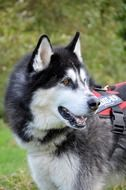 Siberian Husky - factory specialized breed of dog