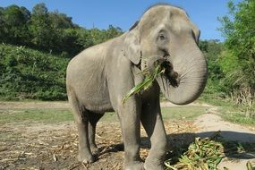 elephant is eating grass in Thailand