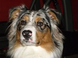 closeup australian shepherd photo