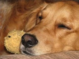 Golden Retriever is sleeping