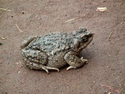 warty toad on brown ground