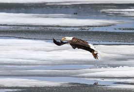 Bald Eagle Taking Flight off frosted water