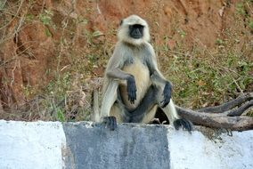 Gray Langur Monkey India