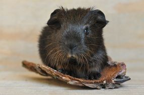 portrait of a brown guinea pig