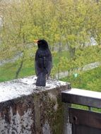 Back view of the blackbird in rain