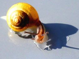 wet yellow snail